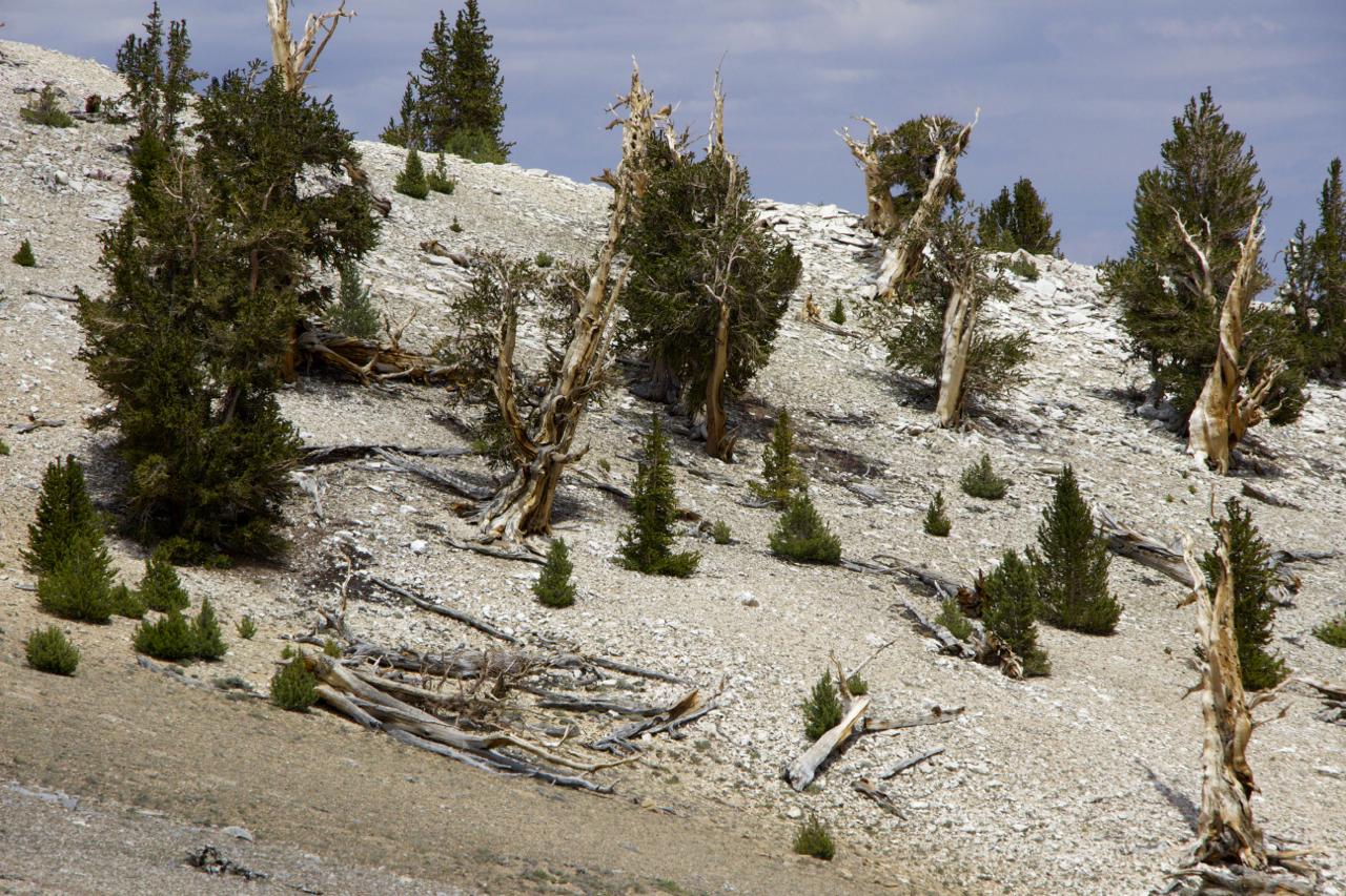 """Ancient Bristlecone Pine Forest"""