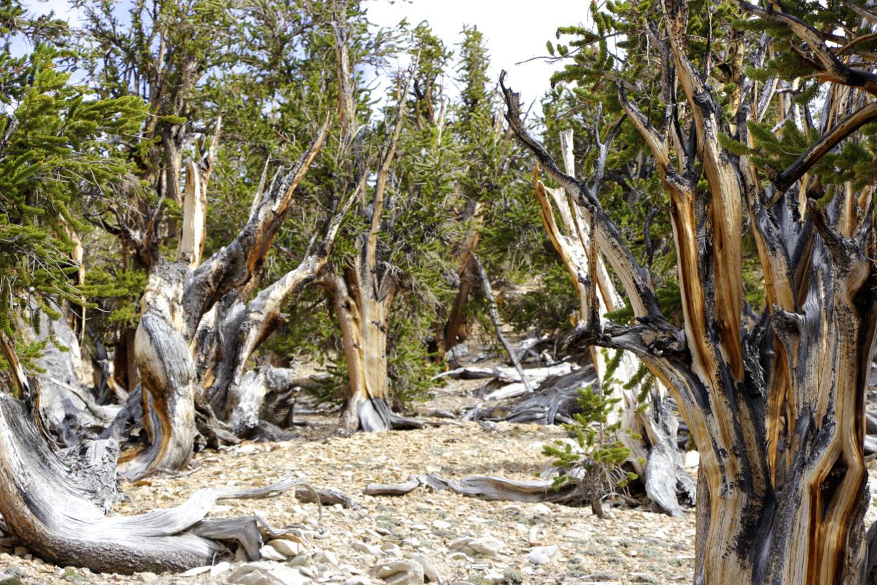 """Ancient Bristlecone Pine Grove"""