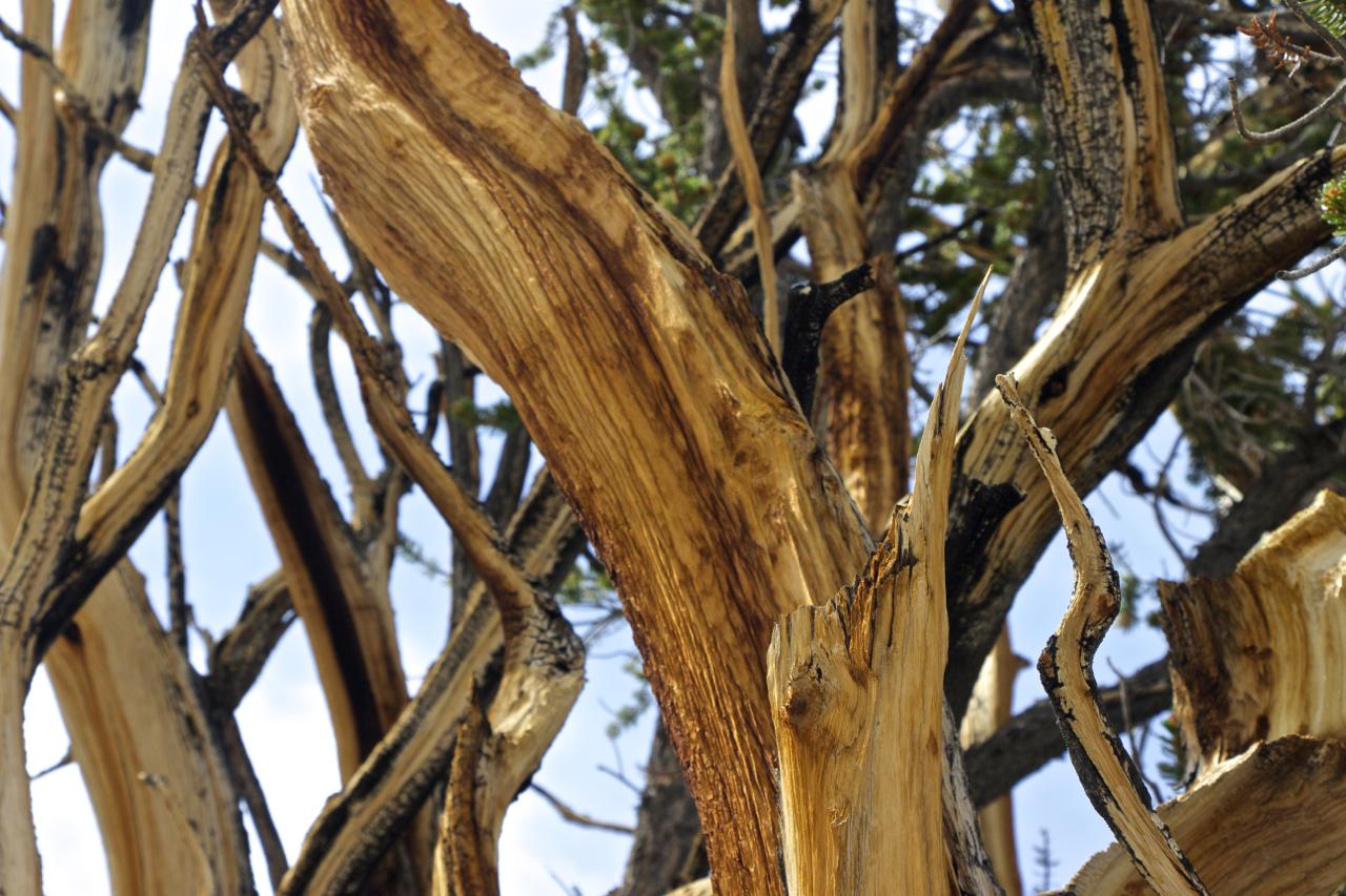 """Ancient Bristlecone Pine Sky"""