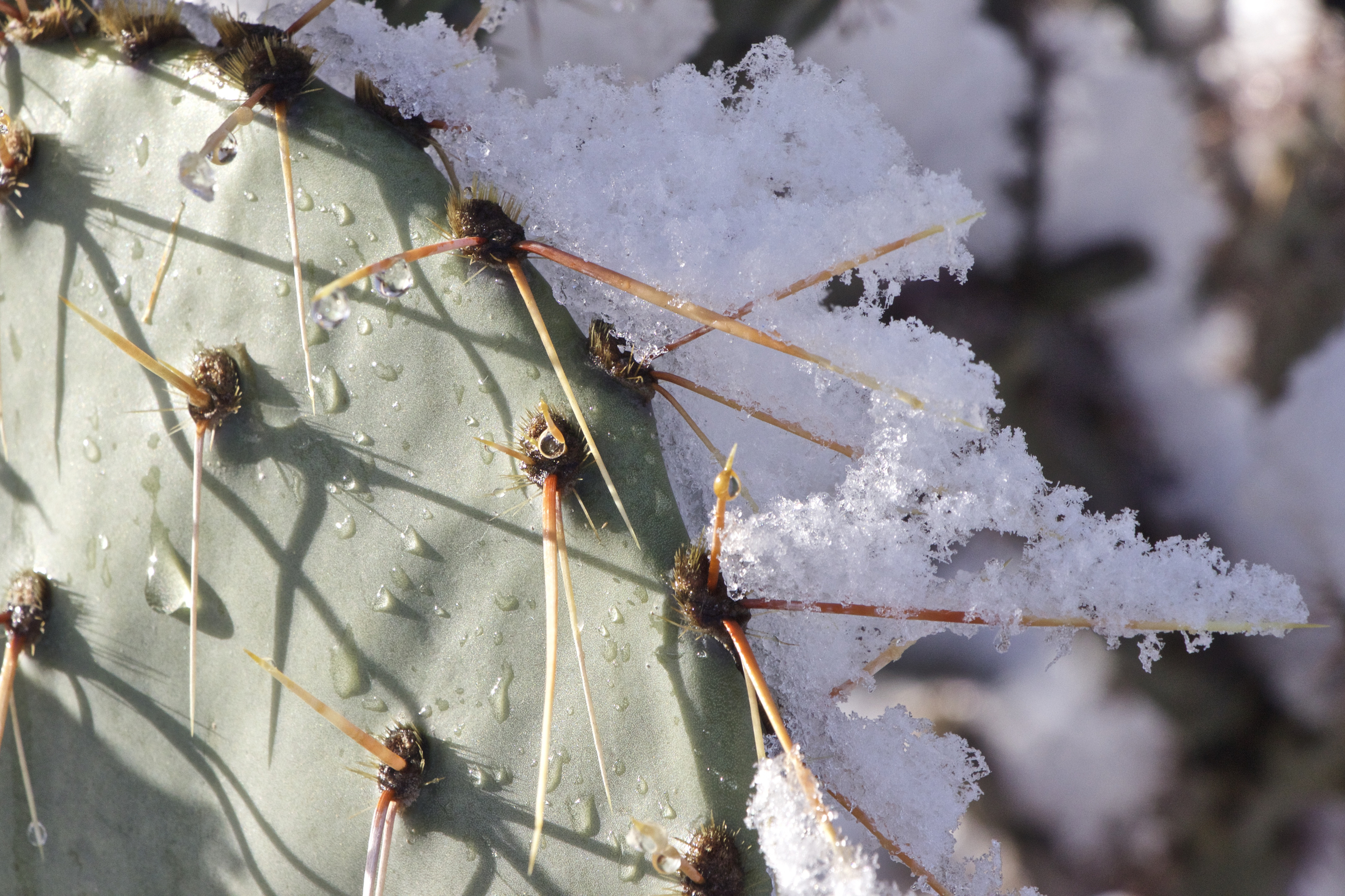 """Melting Snow on Prickly Pear Cactus #1"""