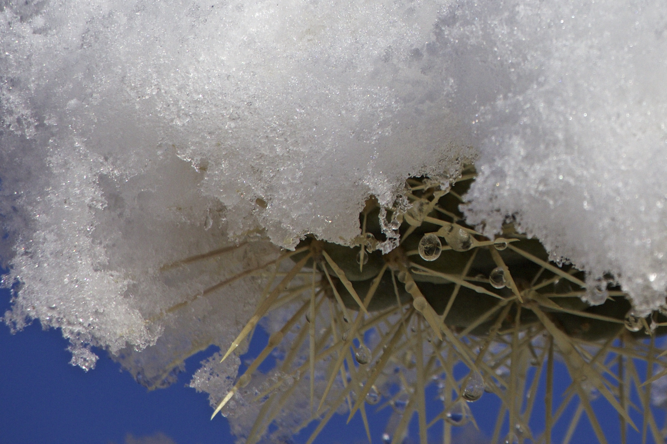 """Morning Snow on Cactus Spines #2"""