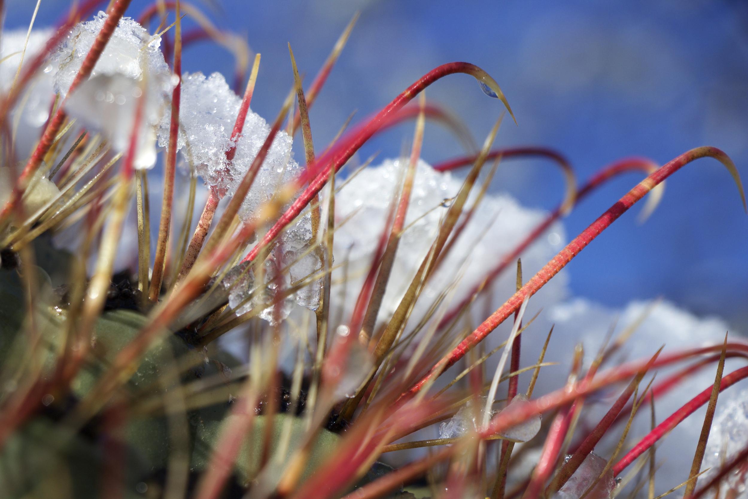 """Melting Snow on Fishhook Cactus #3"""