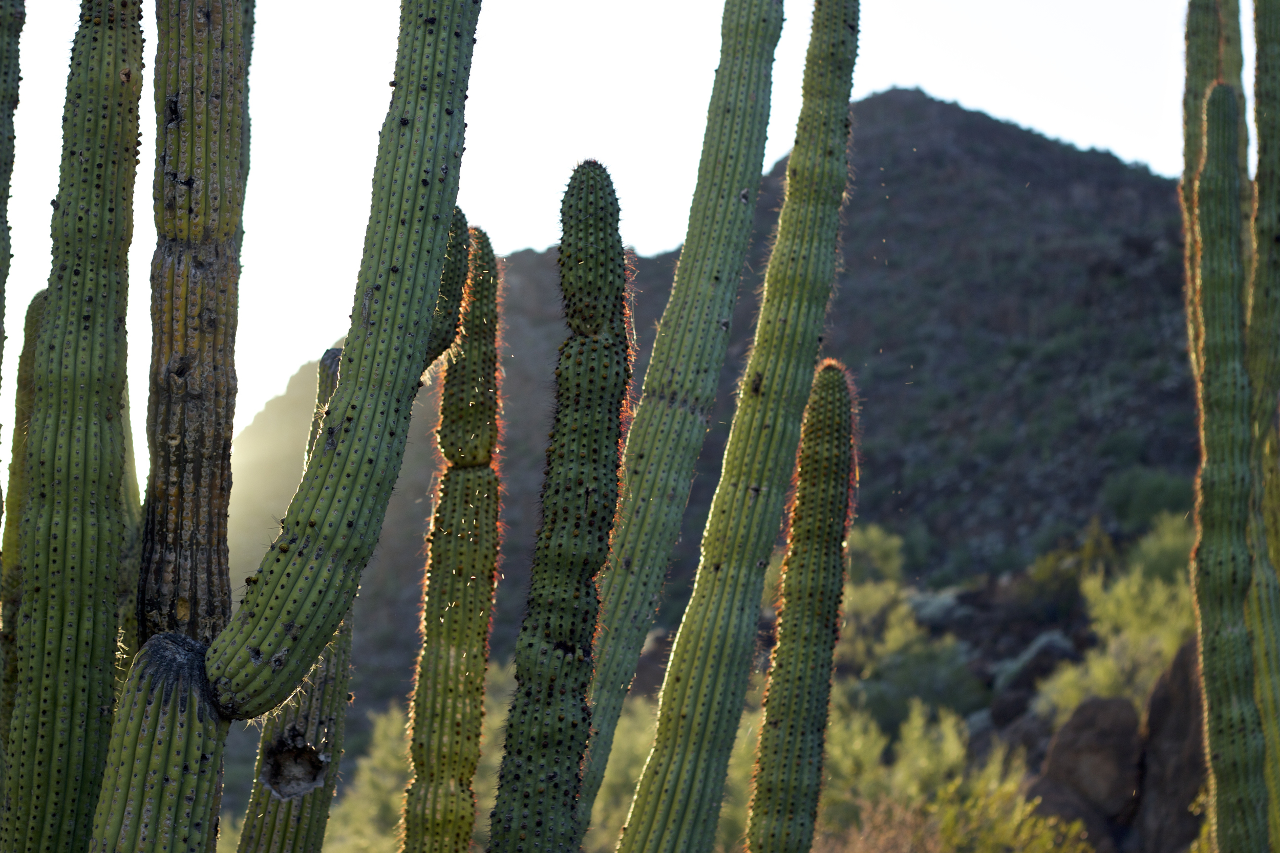 """Organ Pipe Cactus"""