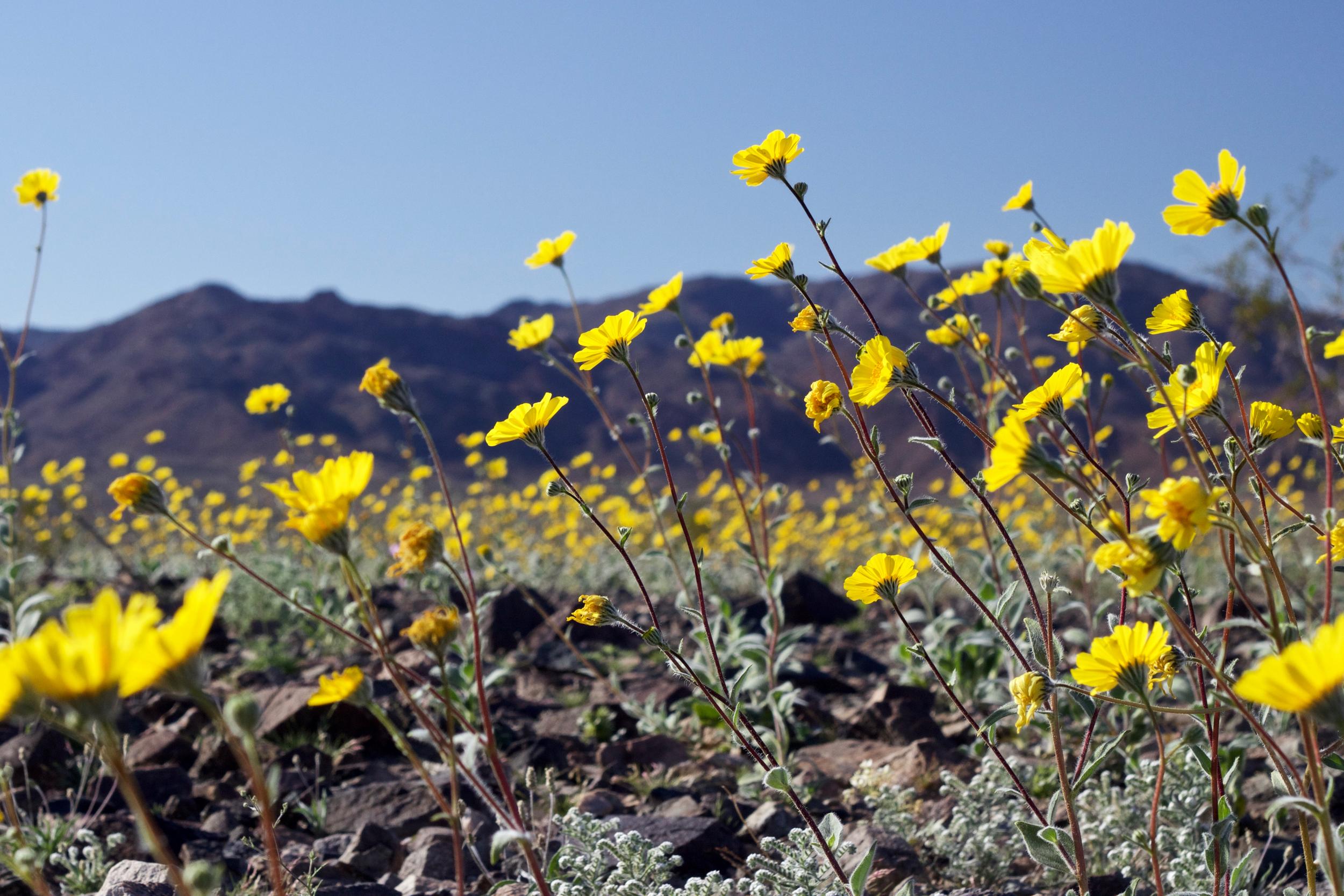 """""""Desert Sunflower Afternoon #1"""""""