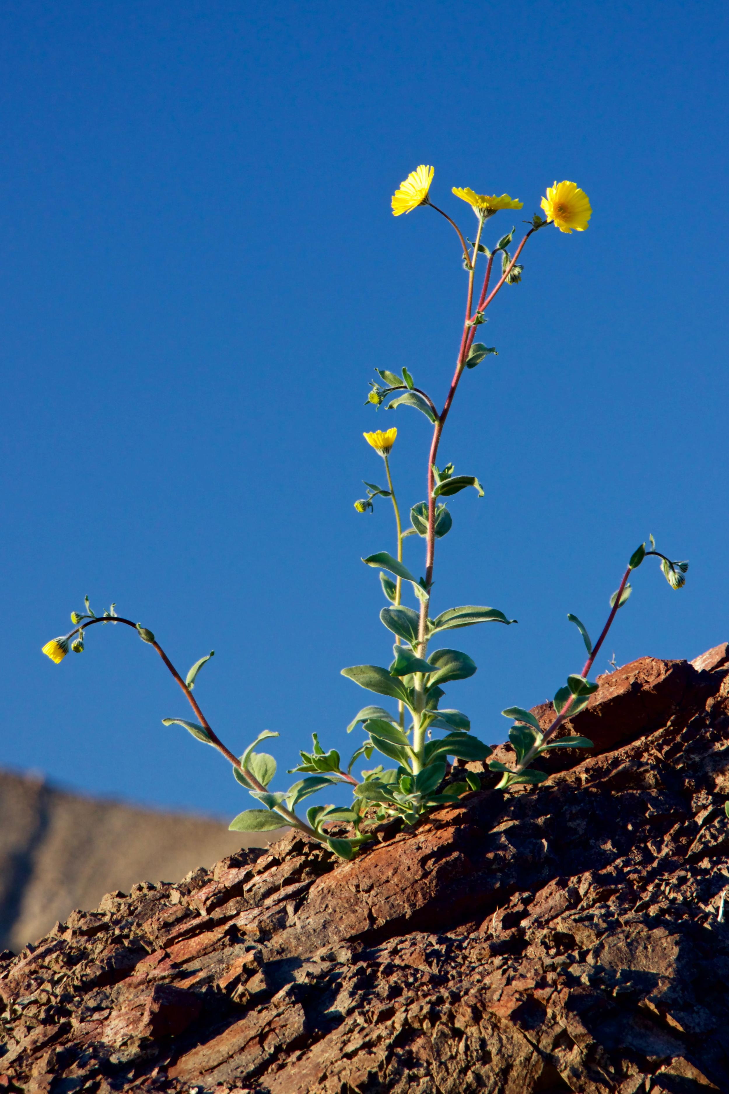 """""""Desert Sunflower Sunset #1"""""""