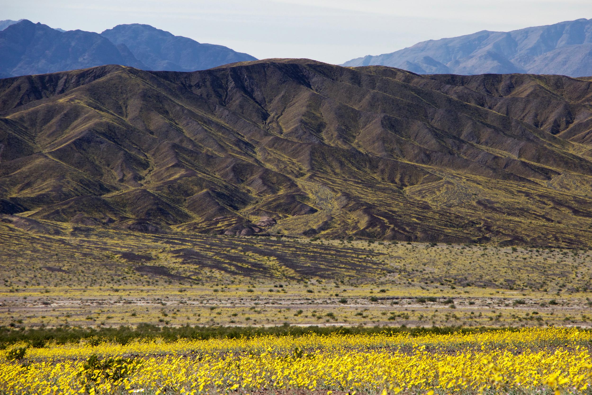"""""""Desert Sunflower Streams"""""""