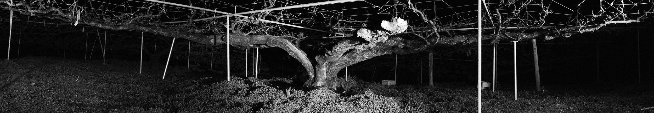 <百年梨樹> A Hundred Year Pear Tree.  噴墨印刷/描圖紙/地燈/煙霧  Inkjet Print / Tracing Paper/Floor Light/ Fog
