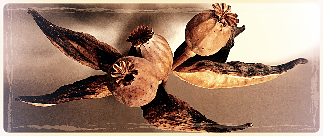 POPPY PODS :: IF THEY ARE BEAUTIFUL, IF THEY INSPIRE,THEN ARE THEY TRULY DEAD?