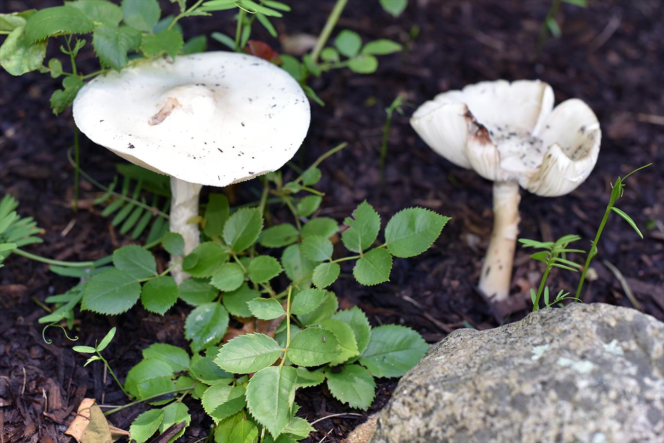 mushrooms in the garden