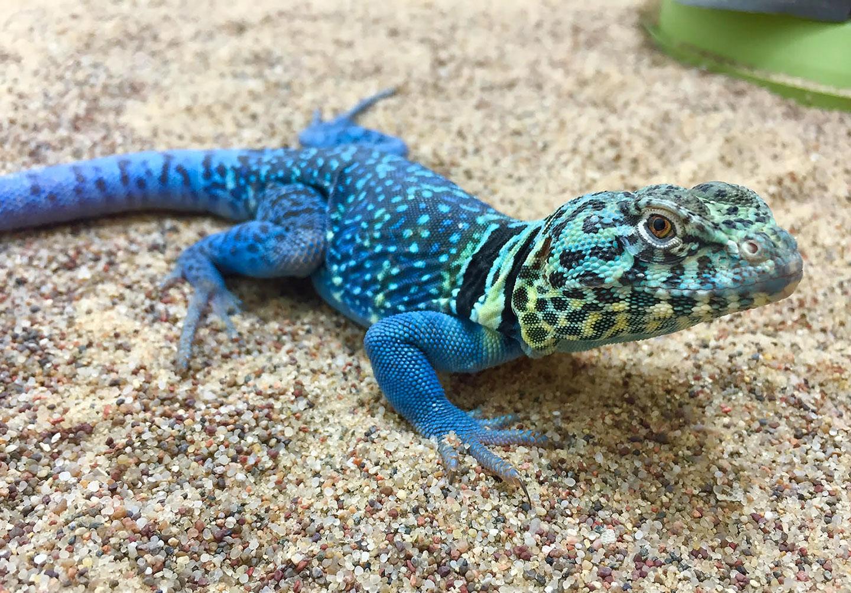 Male Blazing Blue C. collaris