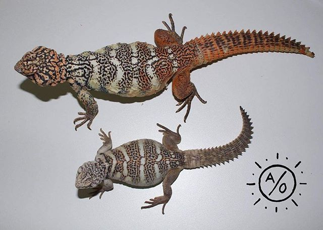 Uromastyx yemenensis Father with his 7 month old son. #aridsonly #reptiles #lizards #herpetoculture #uromastyx #yemenensis #uromastyxyemenensis #rainbowuromastyx