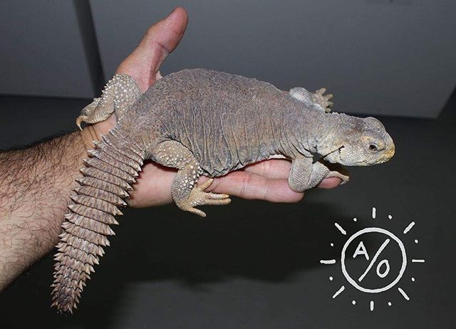 Young adult female #egyptianuromastyx full body and portrait picture. #aridsonly #uromastyx #uromastyxaegyptia #reptiles #lizards #herpetoculture