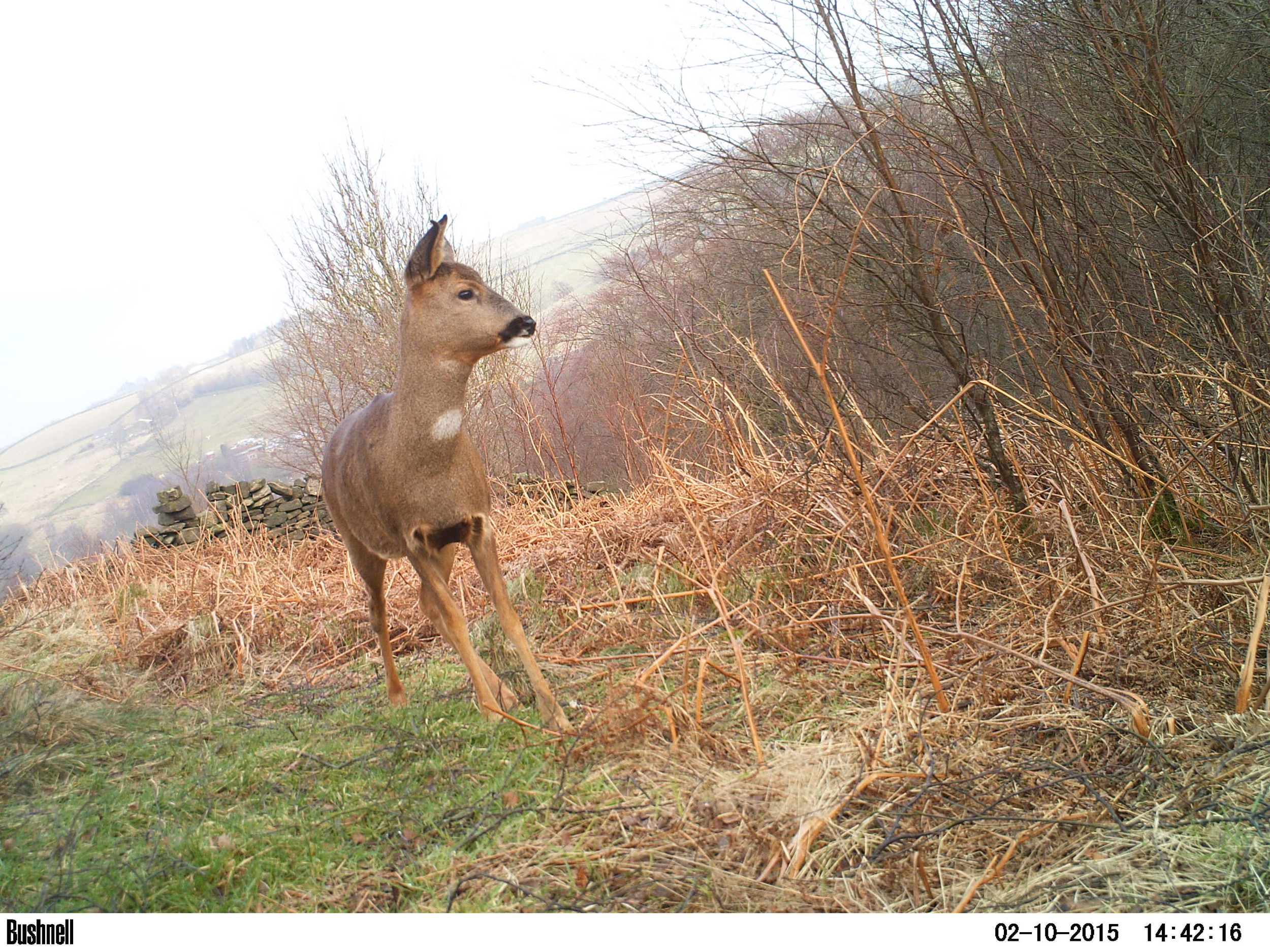 One of my favourite photos of a roe doe using the trail camera taken at the end of winter, 2015