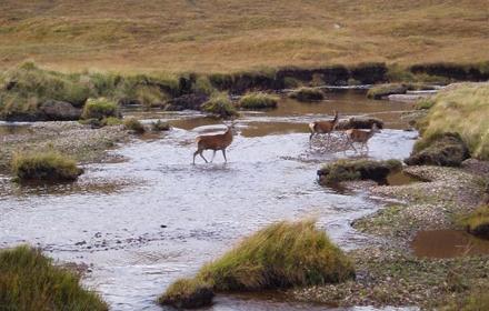 deer-crossing-the-river_440.jpg
