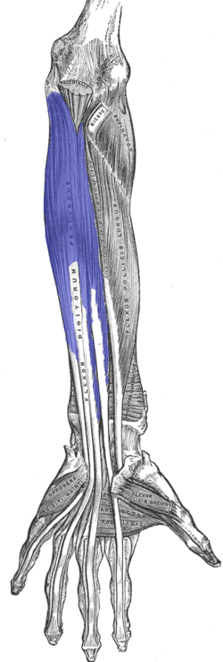 Another old school Gray's Anatomy picture, with the flexor digitorus profundum highlighted.