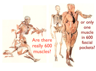 Image courtesy of AnatomyTrains.com. The first image questions the dissect and separate logic of traditional study, and the second explores the more integrated idea of fascial webbing.