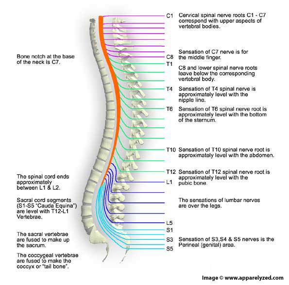 When viewed from the side, the spine has a series of natural lordatic and kyphotic curves.  Poor alignment often distorts these curves into a single C curve.