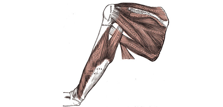 A lovely small image from Gray's Anatomy.