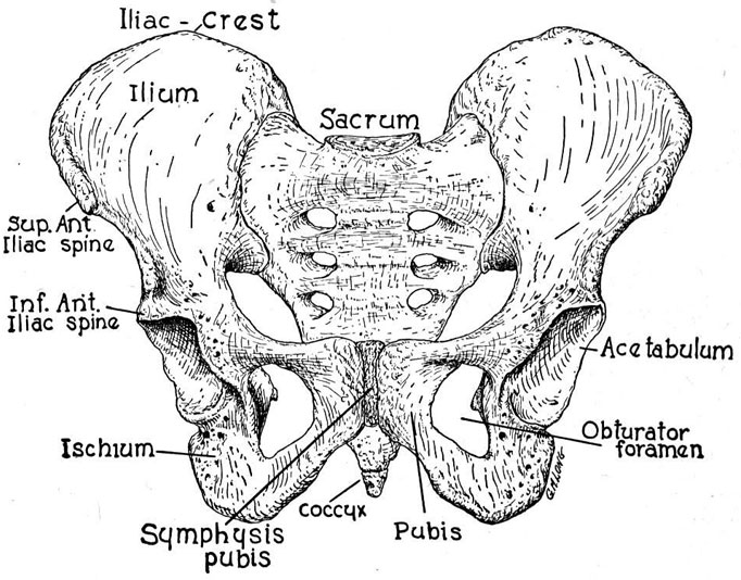 Image courtesy of: http://www.beyondbasicsphysicaltherapy.com/pelvic-floor-anatomy