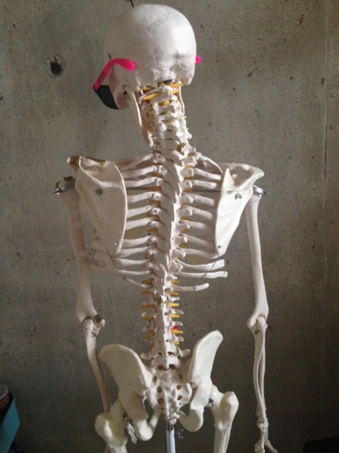 here's my model skeleton with some right sided scoliosis.