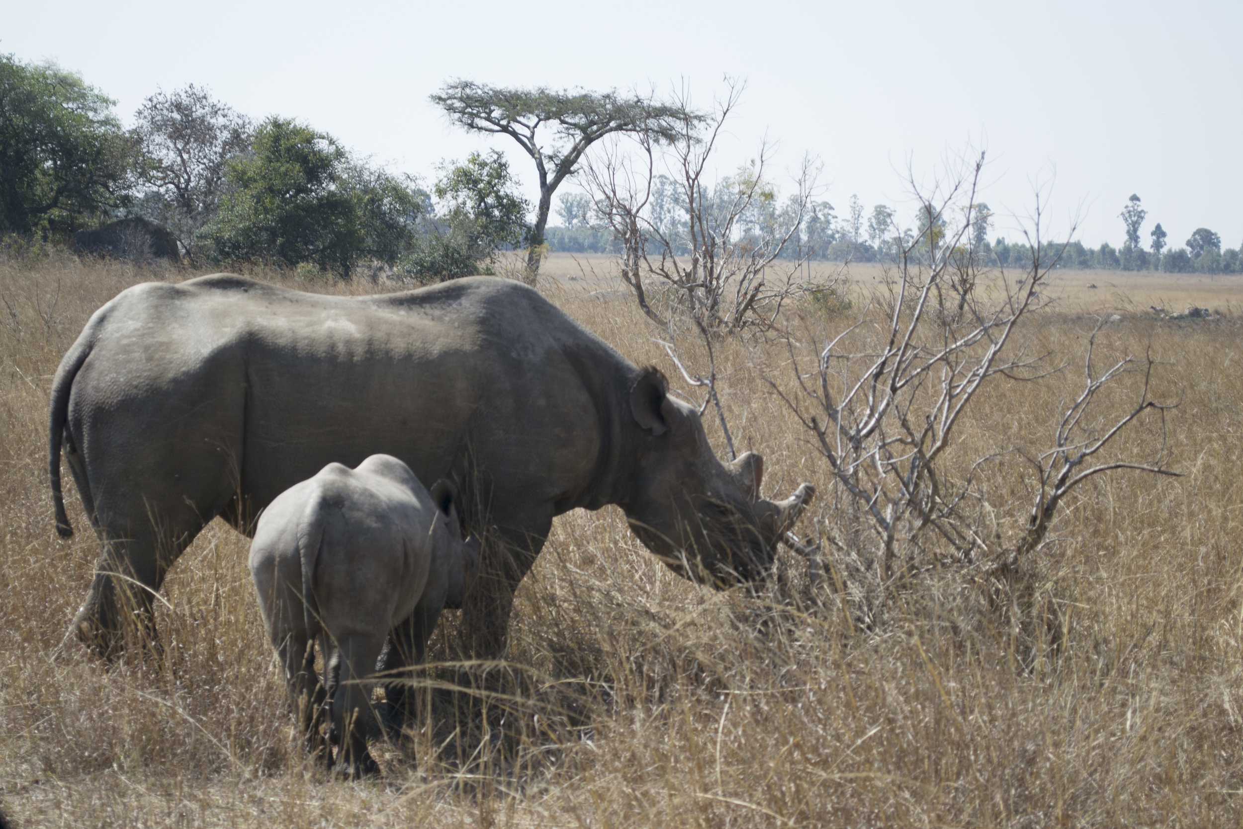 I had the opportunity to visit Imire rhino reserve outside of Marondera-such a treat!