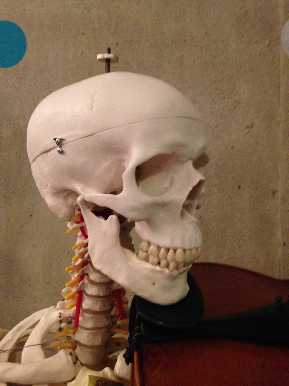 The way we hold our instruments causes constant adaptation in our bodies. A lifetime of poor neck positions may result in undesirable structural adaptations!