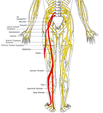 Image from  Advanced Health Centers. You can see the sciatic nerve branching out around the knee as it travels down to the foot.
