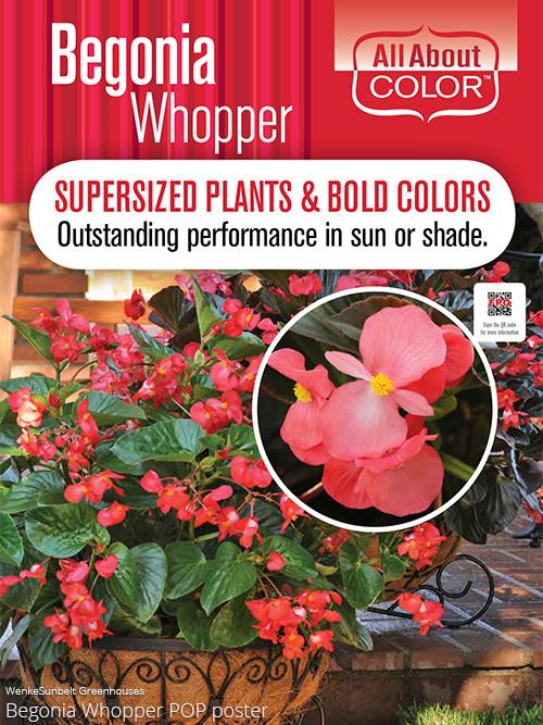 aac-begonia-whopper-pop.jpg