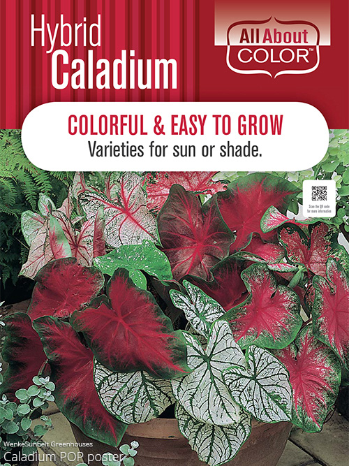 aac-caladium-pop.jpg