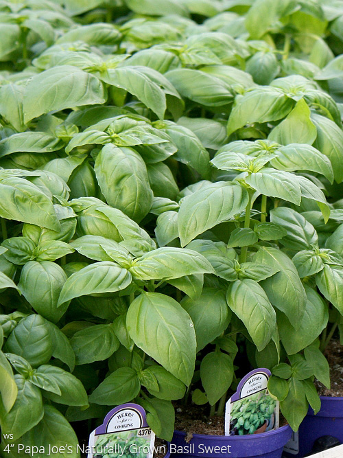 aac-basil-sweet.jpg