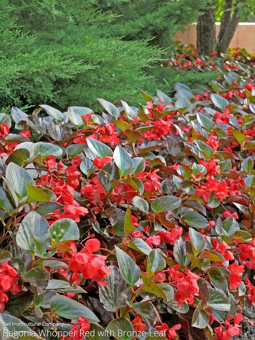 aac-begonia-whopper2.jpg