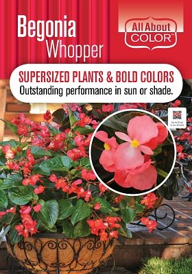 Begonia Whopper Page >