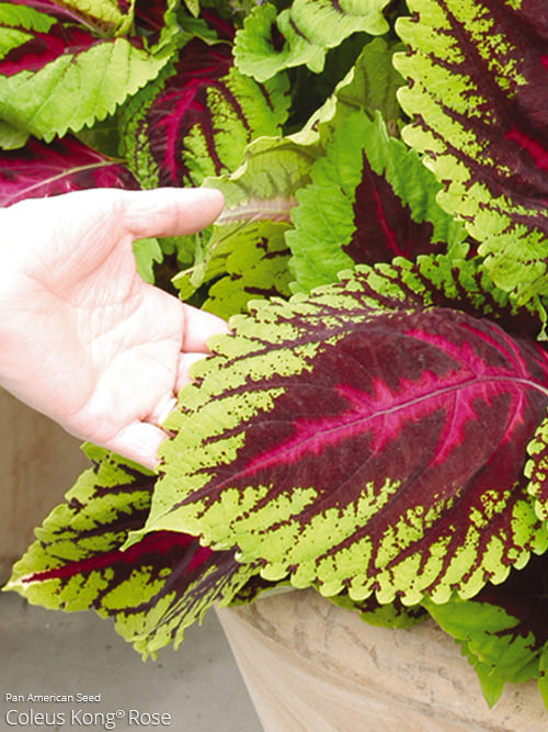 aac-coleus-collection-2.jpg