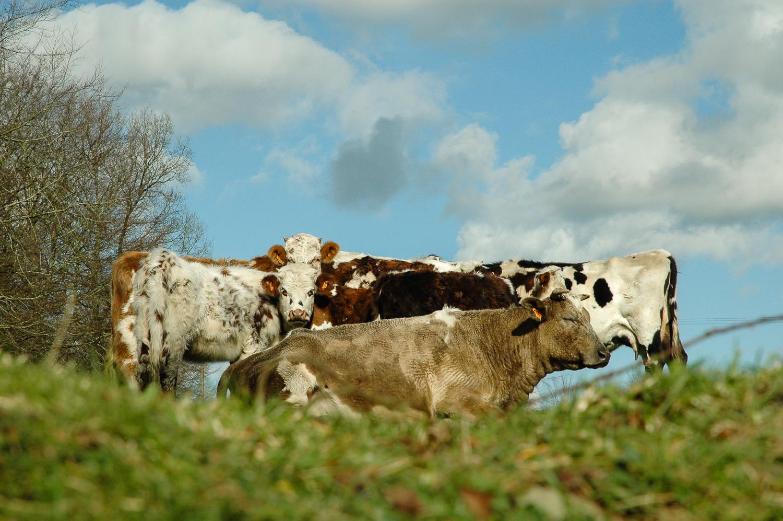 Cows opposite field-2012.jpg
