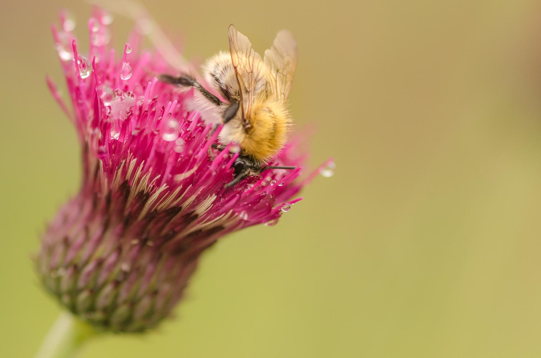 Bumblebee on Thistle-Original-2013.jpg