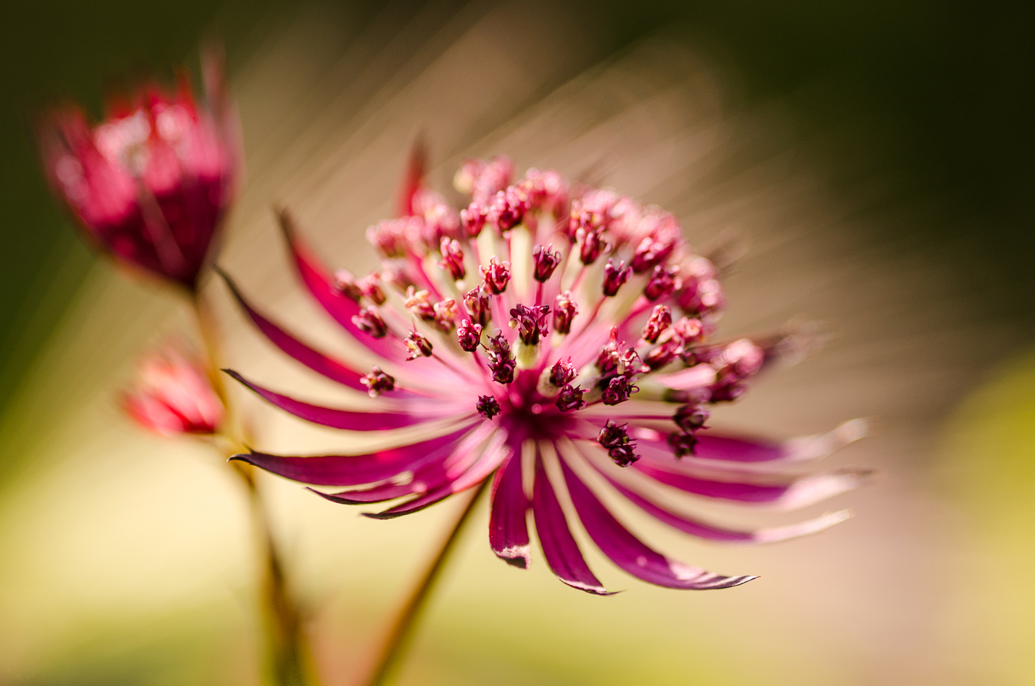 Gone with the wind-Astrantia-GEA2013.jpg