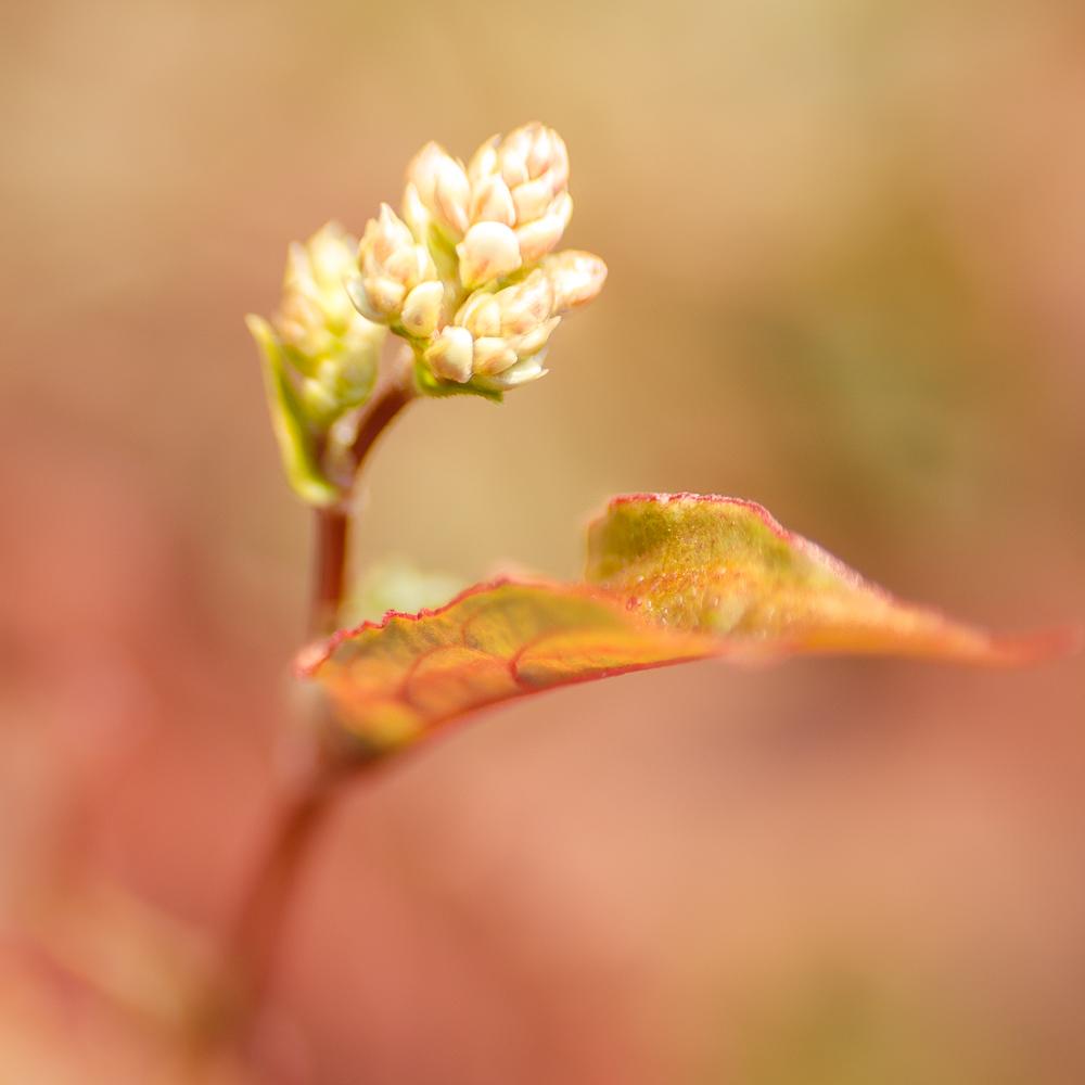 Persicaria-RedDragon-lensbaby-macro-2013.jpg