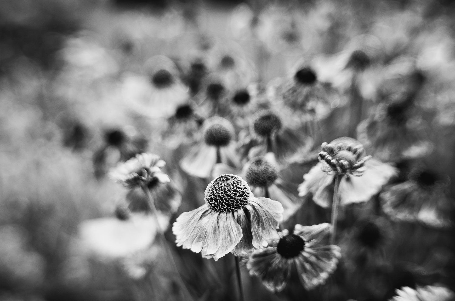 Sea of Helenium -B&W-lensbaby-2013.jpg