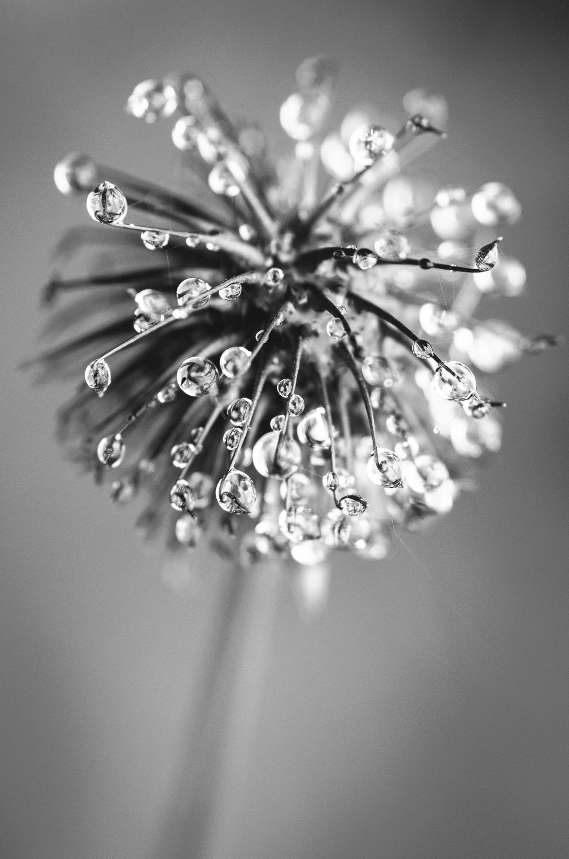Weed -refractions-B&W-macro-2013.jpg