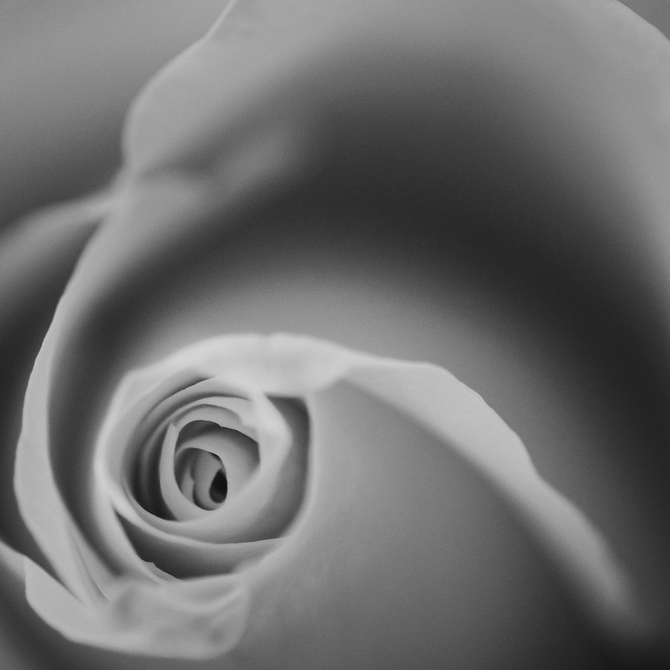 Impressions of a Rose- B&W- (4).jpg