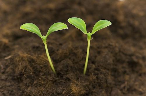 Green_Seedlings_Growing-500.jpg