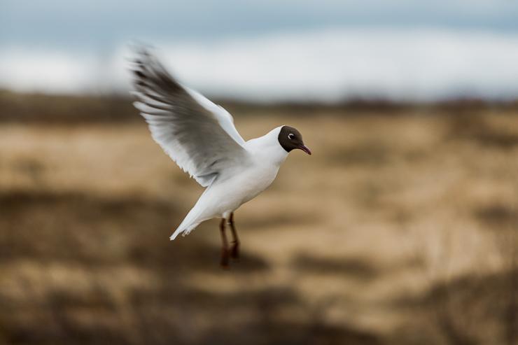 Icelandic Bird in Pingvellir National Park, Iceland
