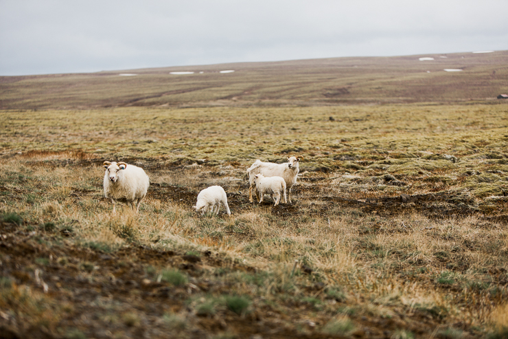 Wild Icelandic Sheep