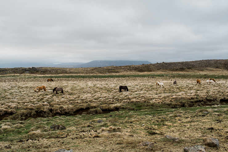 Wild horses in an Icelandic pasture on the way to the secret lagoon