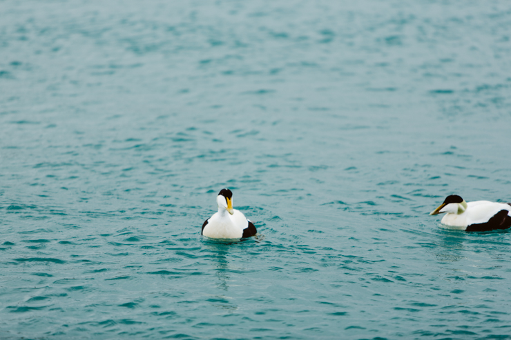 Ducks swimming in the Jokulsarlon Glacier Lagoon, Iceland