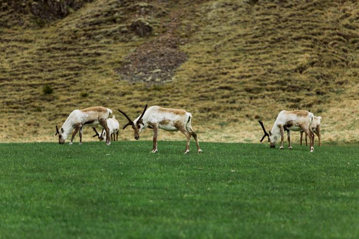 Wild reindeer, Iceland