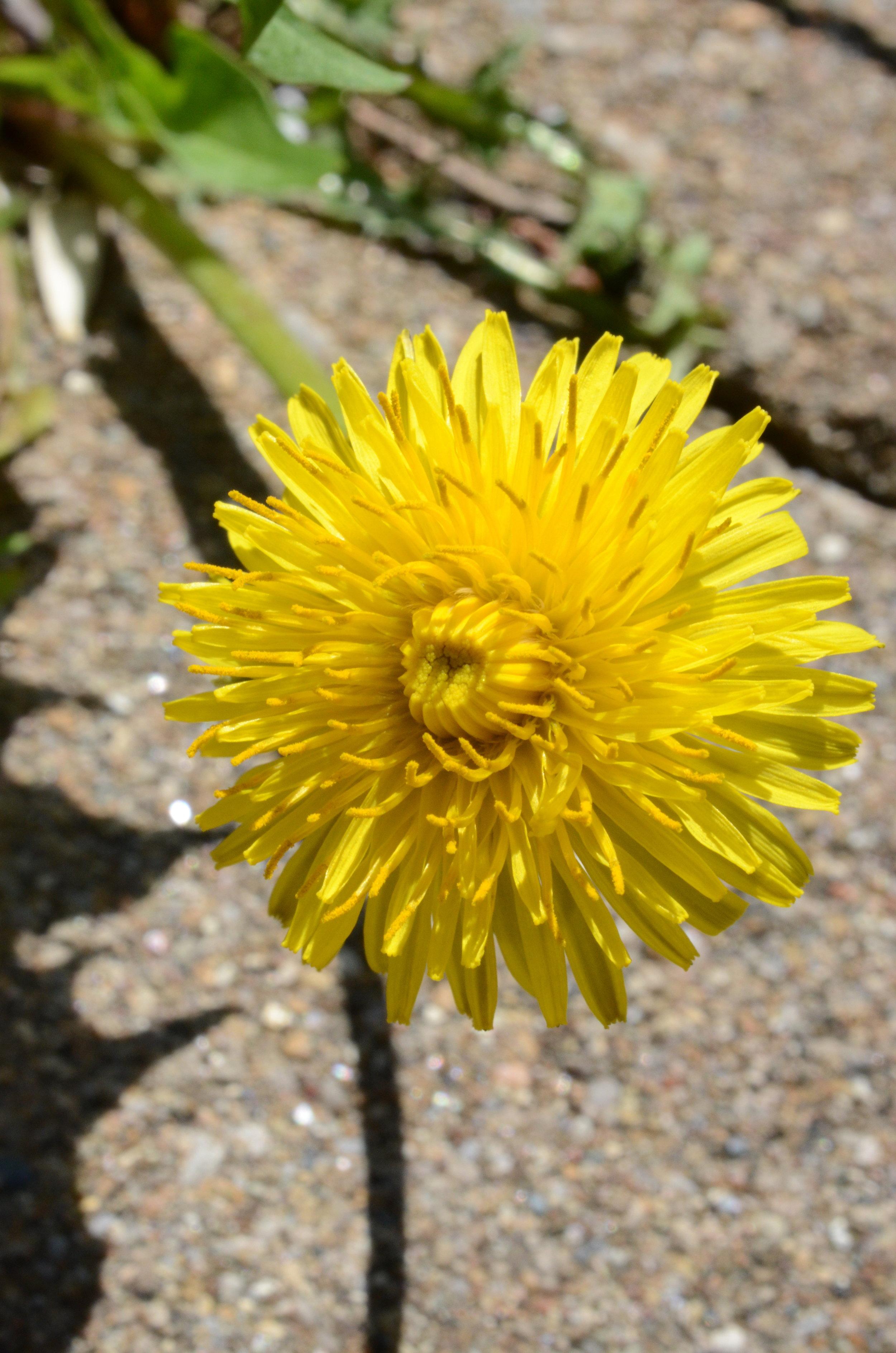weed-dandelion.jpg