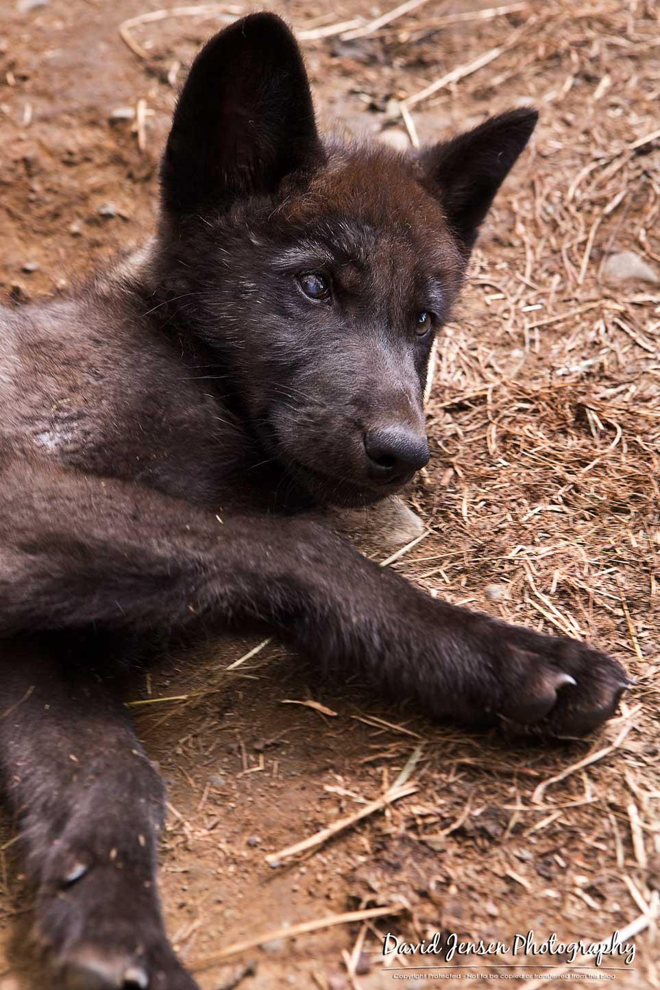 WolfLay.jpg