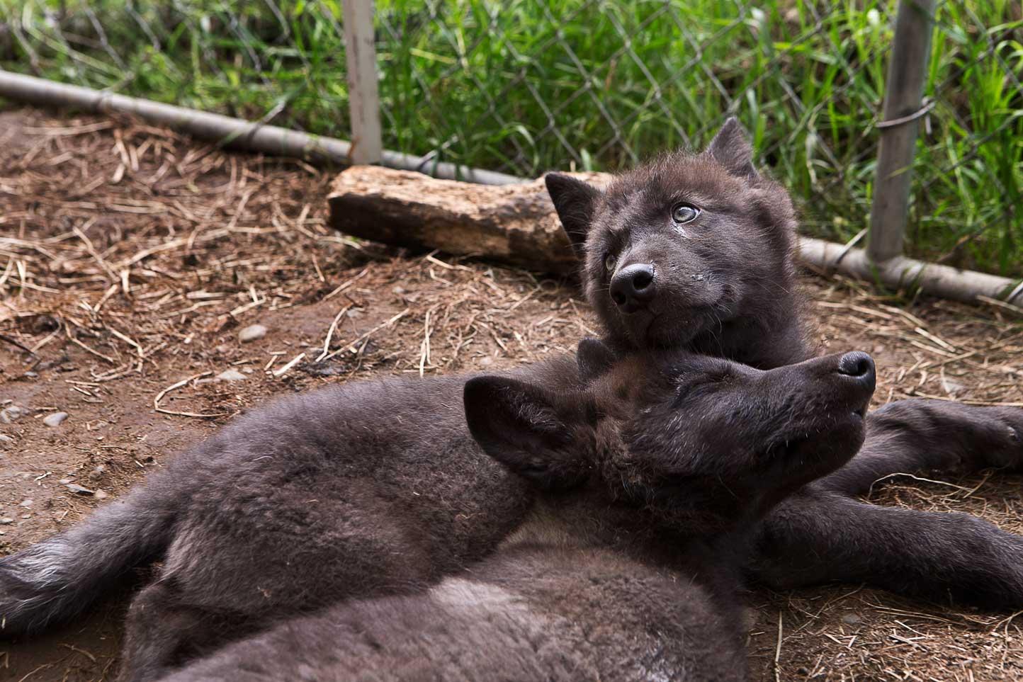 WolfPair.jpg