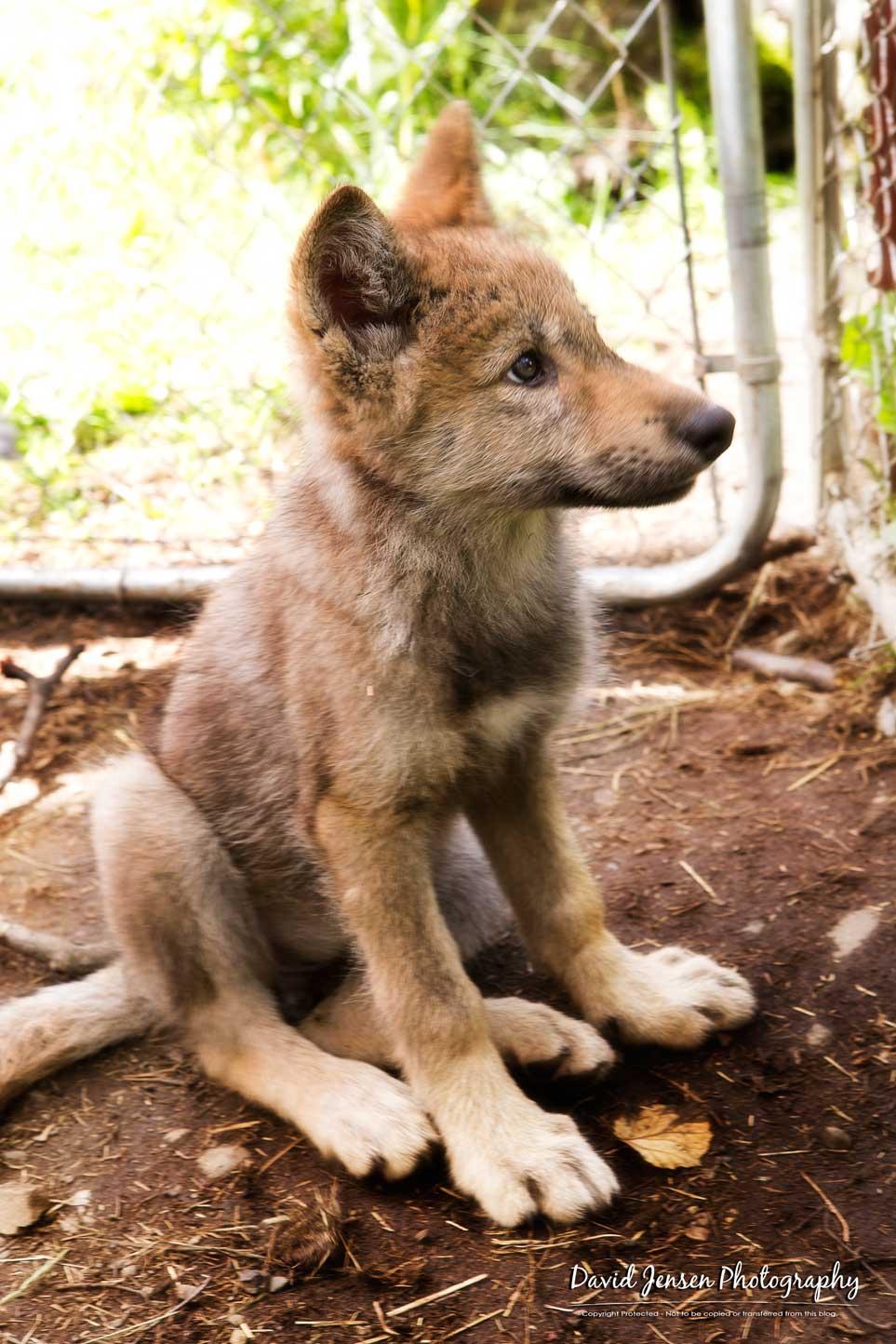 WolfStare.jpg